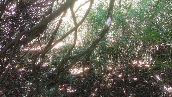 ブッシュ平の藪2